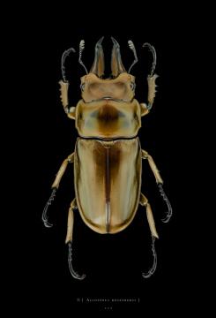Allotopus rosenbergi - Java Indonesia - male
