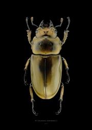 Allotopus rosenbergi - Java Indonesia