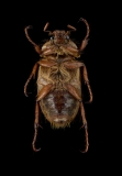 European-chafer-Amphimallon-majale-Romania-3