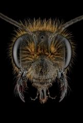 Comunal-mining-bee-Andrena-carantonica-UK-2