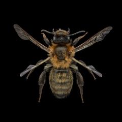 Comunal-mining-bee-Andrena-carantonica-UK-3