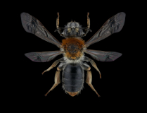 Andrena-haemorrhoa-UK