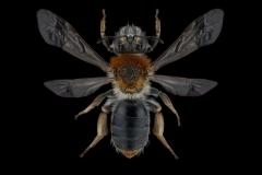 Andrena-haemorrhoa-UK