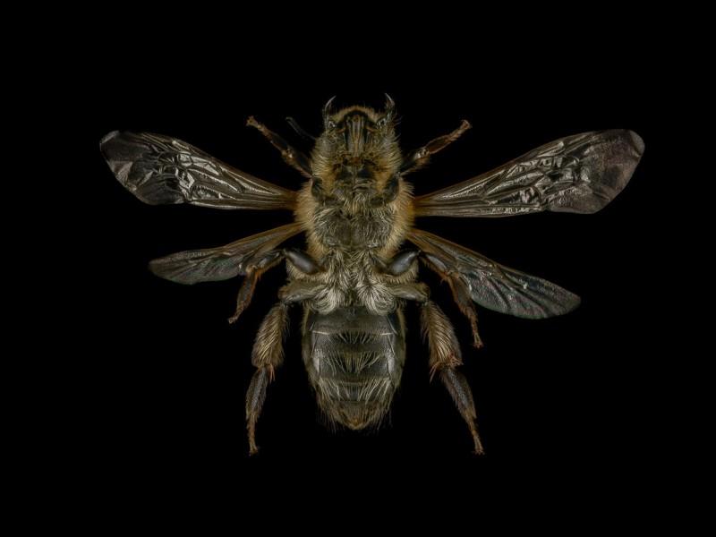 1_Andrena-nitida-UK-2