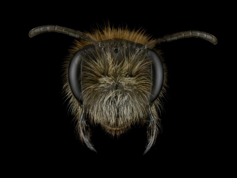 1_Andrena-nitida-UK-3