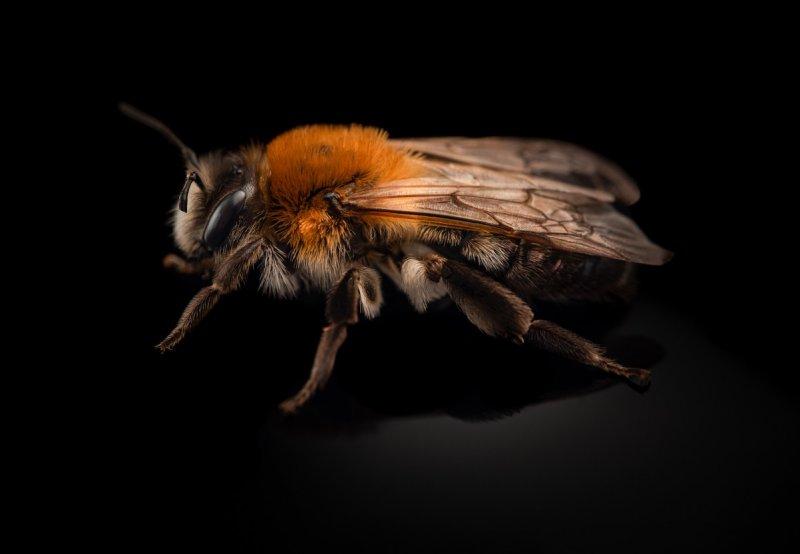 Andrena-nitida-UK-2