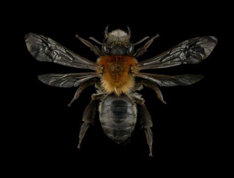 Andrena-nitida-UK-3