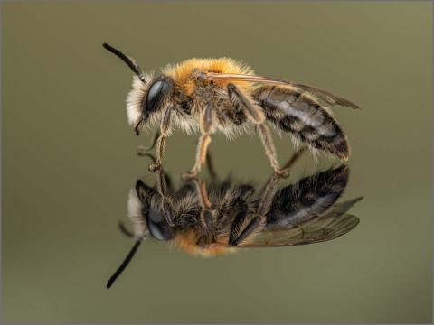 Andrena-sp.-9