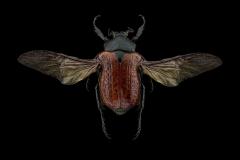 Anochilia-scapularis-Madagascar