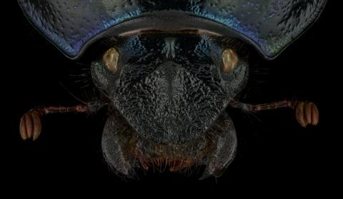 Anoplotrupes-stercorosus-Romania-3