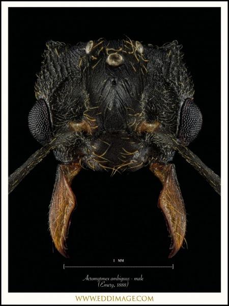 Acromyrmex-ambiguus-male-Emery-1888