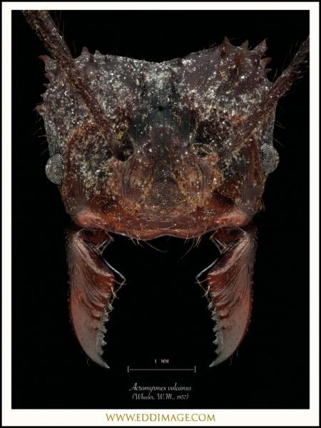 Acromyrmex-volcanus-Wheeler-W.M.-1937