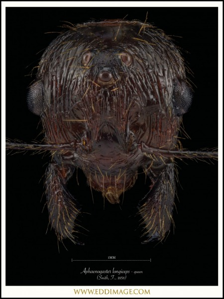 Aphaenogaster-longiceps-queen-Smith-F.-1858