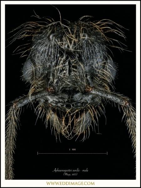 Aphaenogaster-senilis-male-Mayr-1853