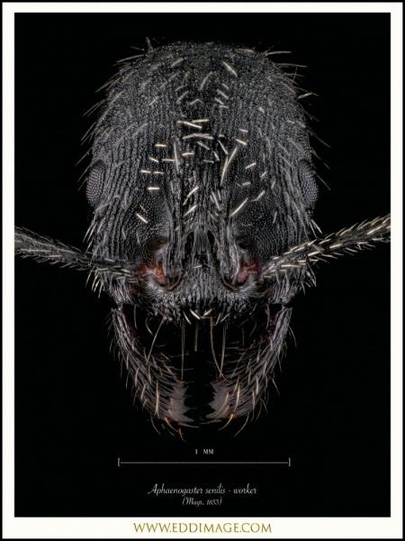 Aphaenogaster-senilis-worker-Mayr-1853-