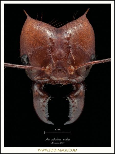 Atta-cephalotes-worker-Linnaeus-1758