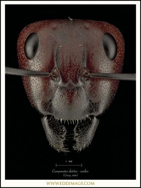 Camponotus-detritus-worker-Emery-1886