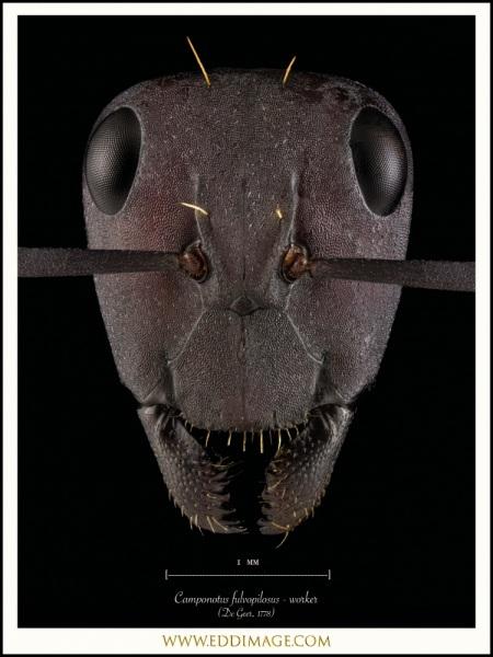 Camponotus-fulvopilosus-worker-De-Geer-1778