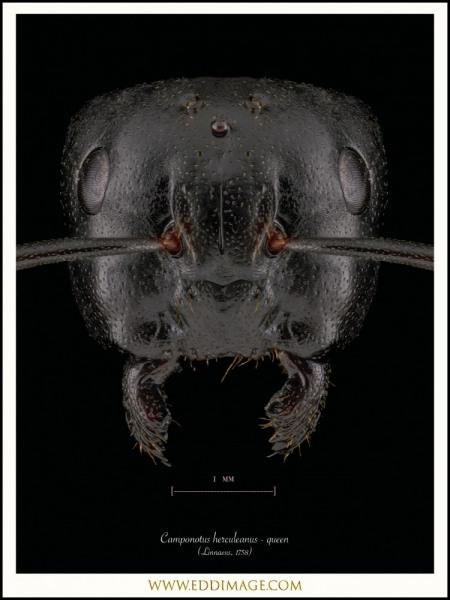 Camponotus-herculeanus-queen-Linnaeus-1758