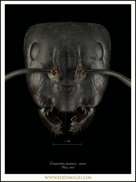 Camponotus-japonicus-queen-Mayr-1866
