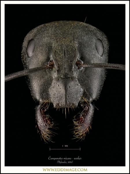 Camponotus-micans-worker-Nylander-1856