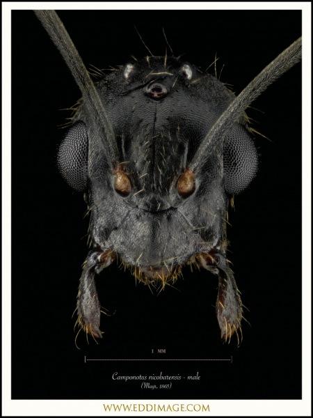 Camponotus-nicobarensis-male-Mayr-1865-