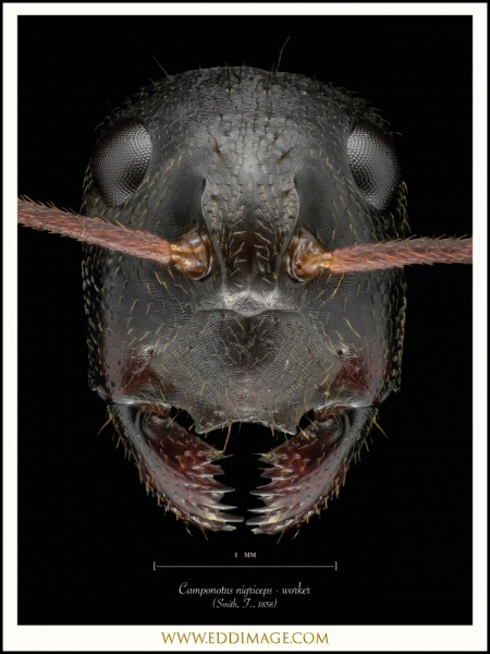 Camponotus-nigriceps-worker-Smith-F.-1858-