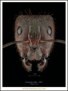 Camponotus-rufipes-worker-Fabricius-1775-