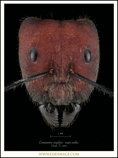 Camponotus-singularis-major-worker-Smith-F.-1858