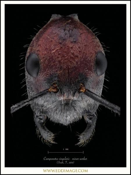 Camponotus-singularis-minor-worker-Smith-F.-1858-