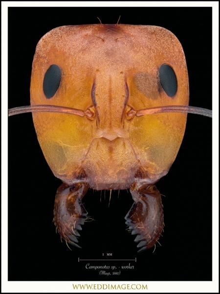 Camponotus-sp.-worker-Mayr-1861