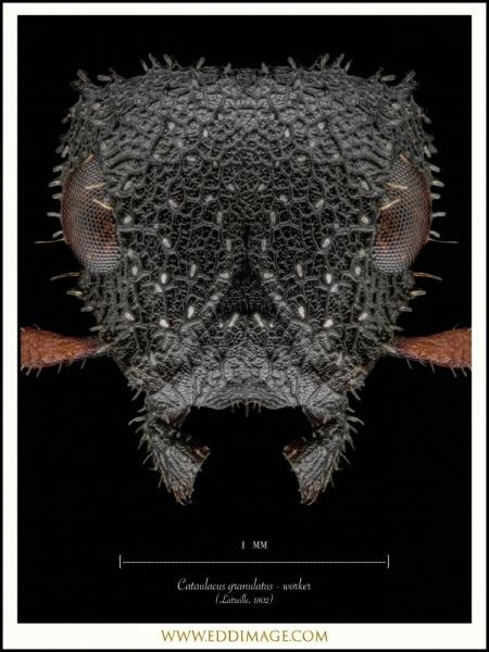 Cataulacus-granulatus-worker-Latreille-1802-