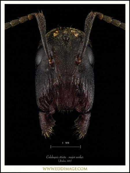 Colobopsis-stricta-major-worker-Jerdon-1851-