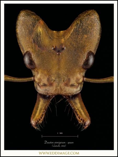 Daceton-armigerum-queen-Latreille-1802-