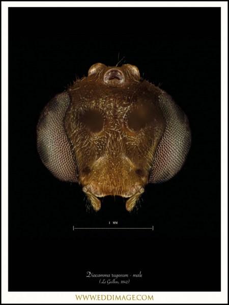 Diacamma-rugosum-male-Le-Guillou-1842
