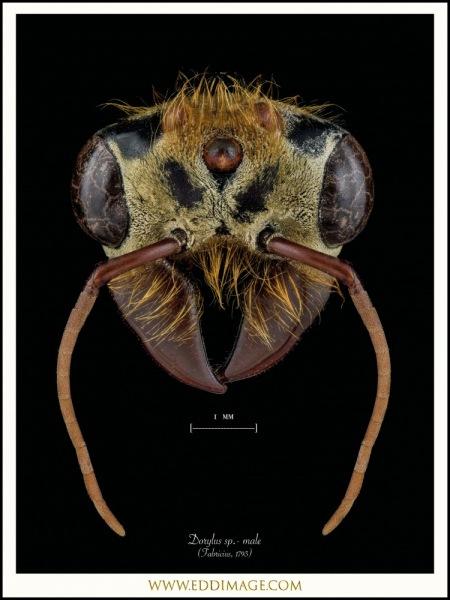 Dorylus-sp.-male-Fabricius-1793-