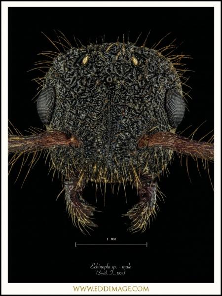 Echinopla-sp.-male-Smith-F.-1857