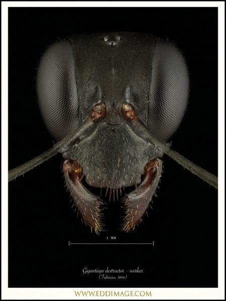 Gigantiops-destructor-worker-Fabricius-1804