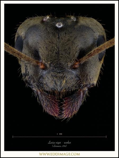 Lasius-niger-worker-Linnaeus-1758