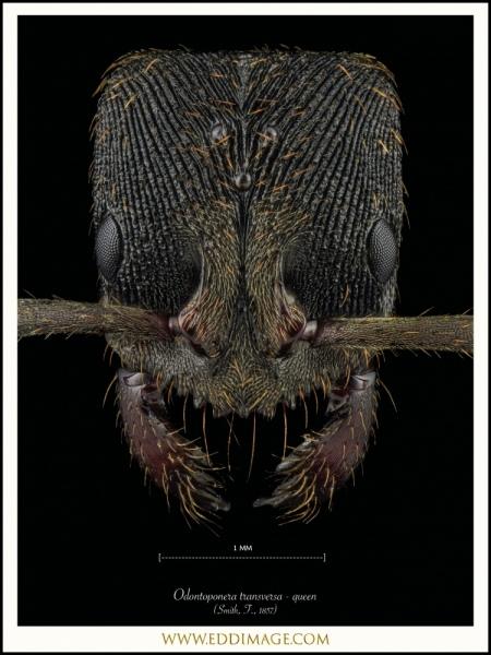 Odontoponera-transversa-queen-Smith-F.-1857