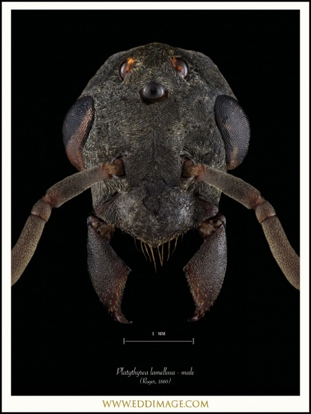 Platythyrea-lamellosa-male-Roger-1860
