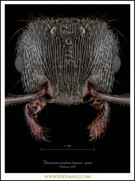 Tetramorium-caespitum-impurum-queen-Linnaeus-1758