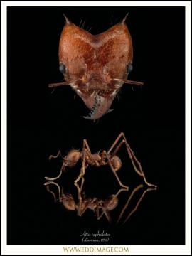 Atta-cephalotes-Linnaeus-1758