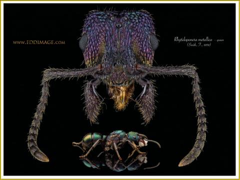 Rhytidoponera-metallica-queen-14-Smith-F.-1858
