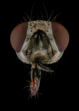 Anthomyia-procellaris-UK