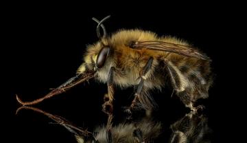 Anthophora-plumipes-Male-UK