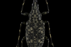 Anthribidae-Malaysia-2