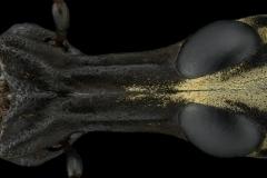 fungus-weevil-beetle-Anthribidae-2
