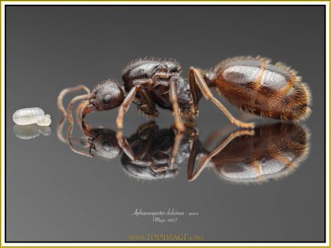 Aphaenogaster-dulcinea-queen1Mayr-1853