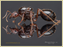 Aphaenogaster-longiceps-queen3Smith-F.-1858